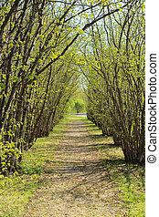 Hazel tree avenue in early spring