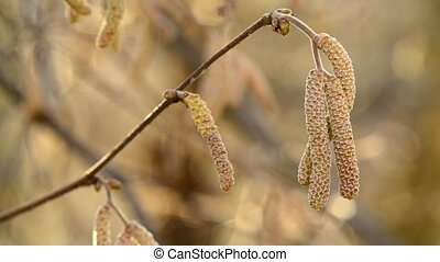 Hazelnut blossom in wintertime