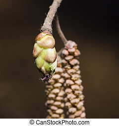 Hazelnut female bud on branch macro, selective focus