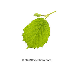 hazelnut leaves on white background