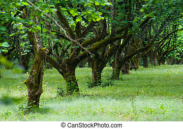 Row of green filbert trees in a grove