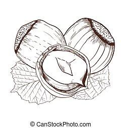Hazelnut vector isolated on white background. Hazelnut seeds...