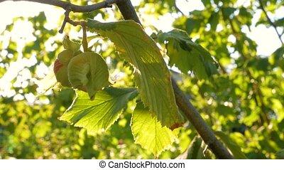 Hazelnuts ripen on a tree branch in farm garden with ...