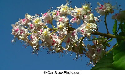 HD 1080 - Blooming chestnut