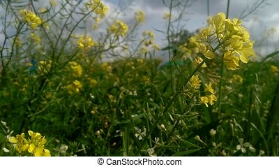 Close up shoot of yellow flowers waving on wind