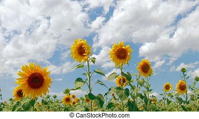 HD Beautiful yellow sunflowers and