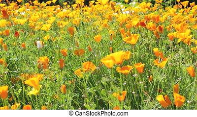 HD California poppy field. Loop.