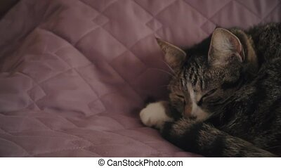 HD Charming household shorthair tabby cat lying on bed 1 -...