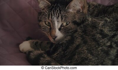 HD Charming household shorthair tabby cat lying on bed -...