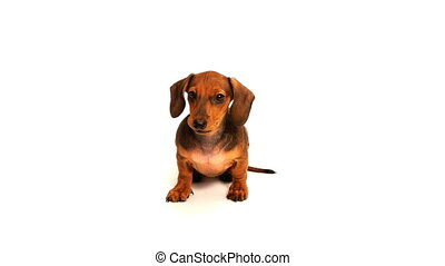 HD - Dachshund puppy looks into the camera