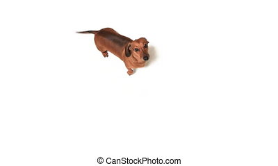 HD - Dachshund stands on hind paws and looks into camera