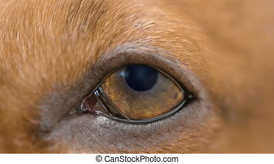 HD - Dog falls asleep. Dog eye macro shot