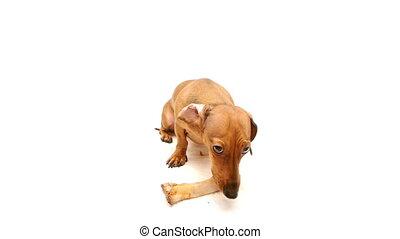 HD - Dog guarding a bone
