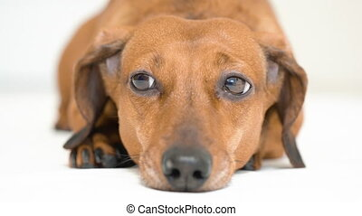 HD - Dog lies on floor and looks into camera