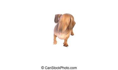 hd, -, dog, ligt, dons, op, vloer