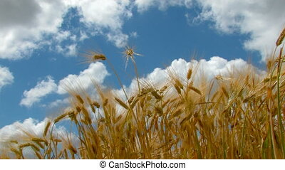 HD ears of wheat against the backdrop of blue sky