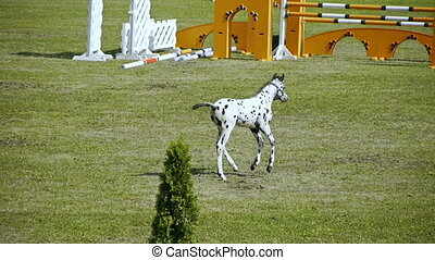 HD - Foal on the show jumping cours