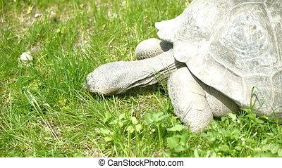 HD - Galapagos tortoise eats grass