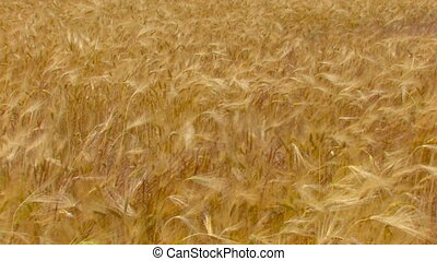 HD golden wheat field, moving from the wind - golden wheat...