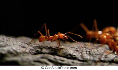 HD - Leaf-cutter ants. Slow-mo