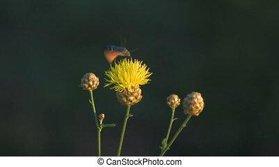 HD pollinate the flower - pollinate the flower Canon XH A1,...