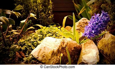 HD Purple flowering Hyacinth plant. The camera moves back on the slider 1