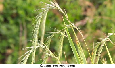 HD Spikes of wheatgrass swaying in the wind
