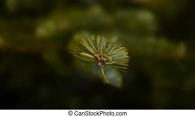 HD - Spruce twig