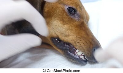HD - Vet checks the teeth of dog