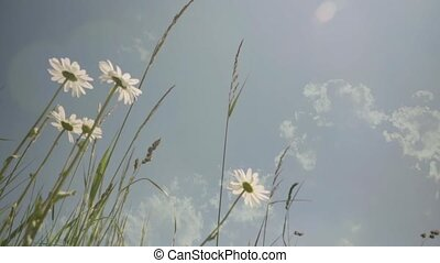 HD White camomiles ,wildflowers, wildflower in the meadow 1...