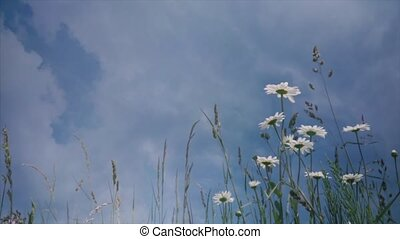 HD White camomiles ,wildflowers, wildflower in the meadow -...