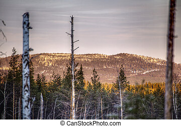 HDR image of dead trees in front of mountain in Vasterbotten, Sweden.