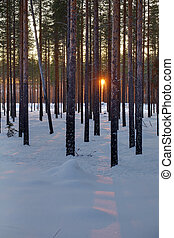 HDR image of pine trees in front of sunset in Vasterbotten, Sweden.