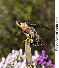 He went that-away - Perigrine Falcon pointing with his wing