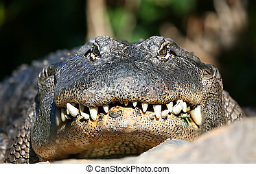 Head Alligator