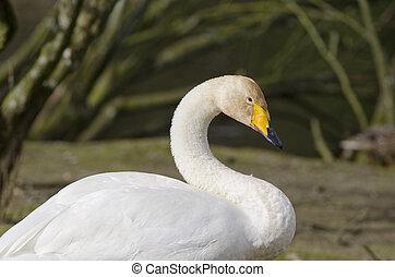 Whooper Swan, Cygnus cygnus - Head and body of a Whooper ...