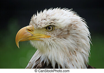 Head and shoulders of a sub-adult American bald eagle...