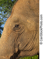head and the eye of an asian elephant closeup