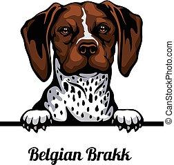 Head Belgian Brakk - dog breed. Color image of a dogs head ...