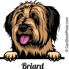 Head Briard - dog breed. Color image of a dogs head isolated...