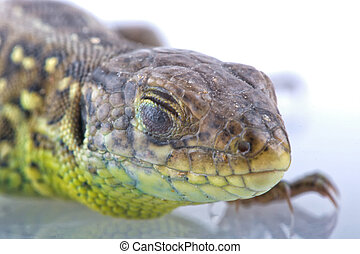 Head detail of lizard (Lacerta agilis) - Head detail with...