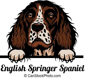 Head English Springer Spaniel - dog breed. Color image of a ...