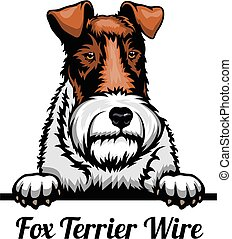 Head Fox Terrier Wire - dog breed. Color image of a dogs head isolated on a white background