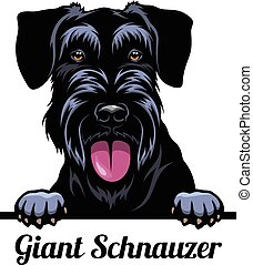 Head Giant Schnauzer - dog breed. Color image of a dogs head...