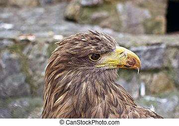head golden eagle close up