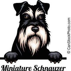 Head Miniature Schnauzer - dog breed. Color image of a dogs ...