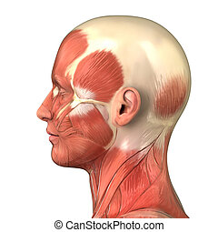 Head muscular system anatomy right lateral view - Muscle ...