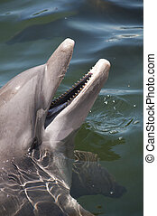 Head of a bottlenose dolphin with an open beak - Head of a ...