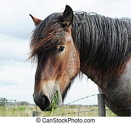 Head of a brabant draft horse chewing grass