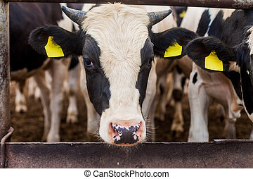 Head of a bull close-up Growing bull-calves into slaughter. ...